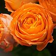 オレンジ ロマンティカ