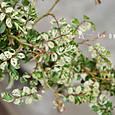 テリハノイバラ(斑入り)  Rosa luciae variegata
