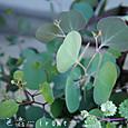 ユーカリ ポリアンセモス  Eucalyptus polyanthemos