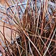 カレックス フラゲリフェラ  Carex flagellifera