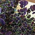 クロバツメクサ  Trifolium repens 'Atropurpureum'