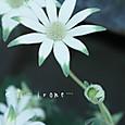 フランネルフラワー フェアリーホワイト  Actinotus helianthi 'Fairy White'