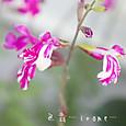 チェリーセージ マーブルベリー  Salvia microphylla 'Marble berry'