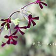 ペラルゴニウム シドイデス イングランド バイオレット  Pelargonium sidoides 'England Violet'