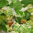 ノブドウ(斑入り) エレガンス  Ampelopsis glandulosa 'Elegans'