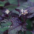 ユーパトリューム チョコラータ  Eupatorium rugosum  Chocolata